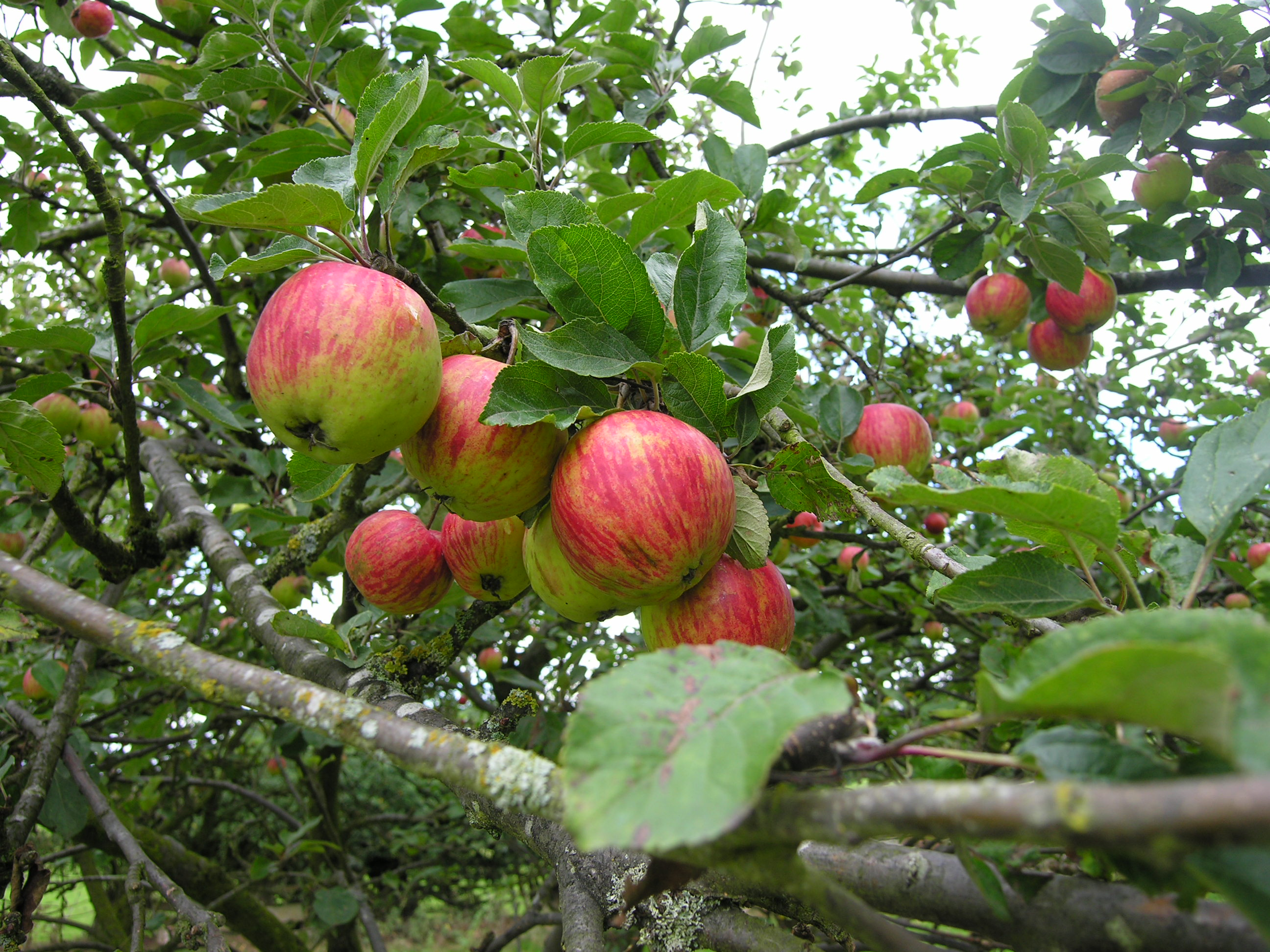 Autumn Apple Day
