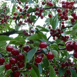 Stone-fruit Tree Pruning Workshop