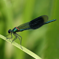 Dragonfly Identification Course